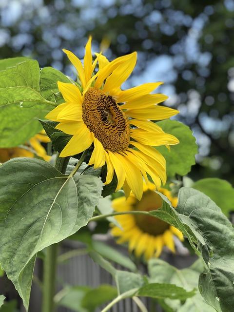 Nature, Flora, Summer, Flower, Sunflower, Closeup