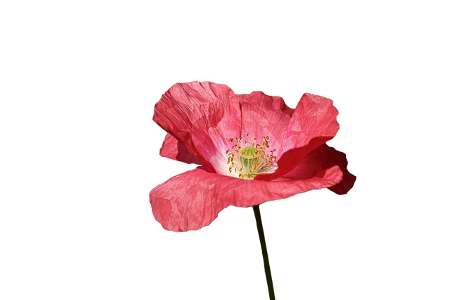 Poppy, Red, Flower, Spring, Red Flowers, Wild, Color