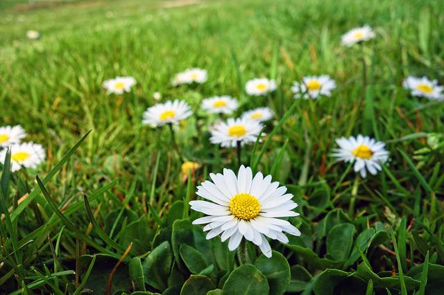 Common Daisy, Lawn Daisy, Daisy, Flower