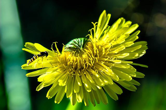 Dandelion, Common Dandelion, Flower, Pointed Flower