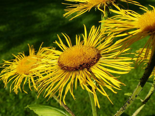 Inula, Flower, Flowers, Yellow, Composites