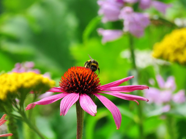 Coneflower, Echinacea, Nature, Flower, Plant, Insect