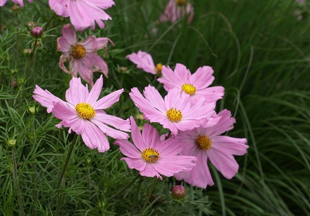 Cosmea, Cosmos, Cosmee, Flower, Pink, Shrub Summer