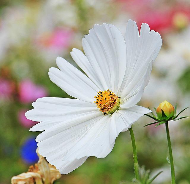 Cosmos, Cosmea, Tree Daisy, Flower, Blossom, Bloom