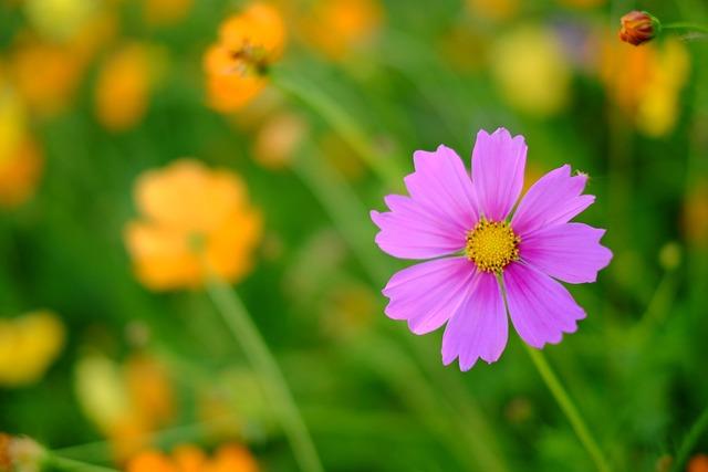 Flower, Cosmos, Fresh
