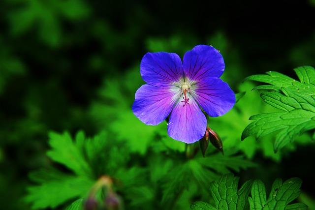 Flower, Blossom, Bloom, Cranesbill, Raindrop