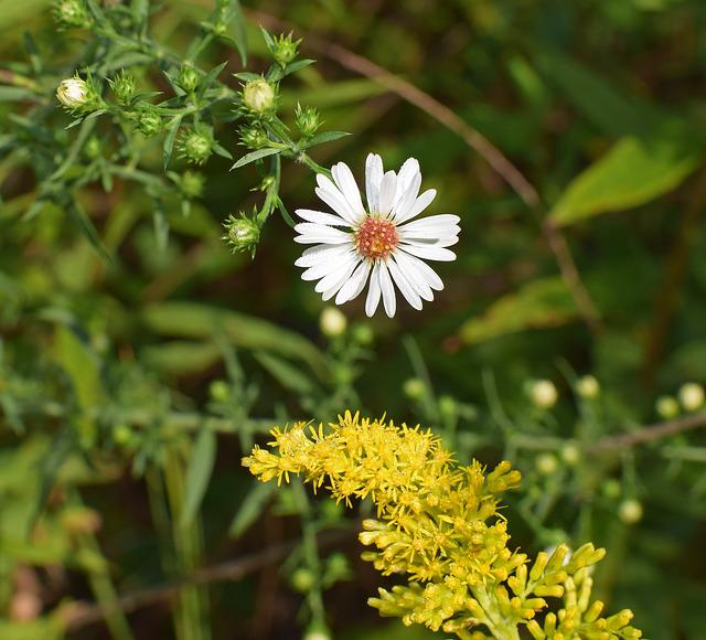 Crooked Stem Aster And Goldenrod, Flower, Blossom
