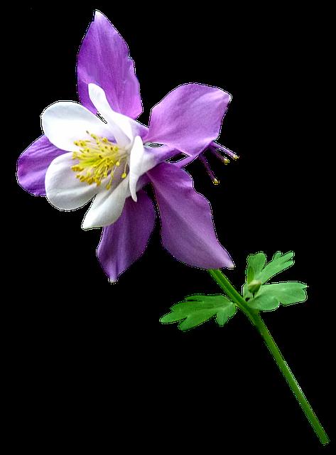 Purple, Flower, Stem, Columbine, Garden, Cut Out