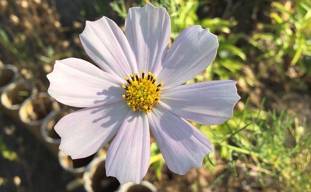Cosmos, Flower, Garden, Flowers, Dacha, Cosmea