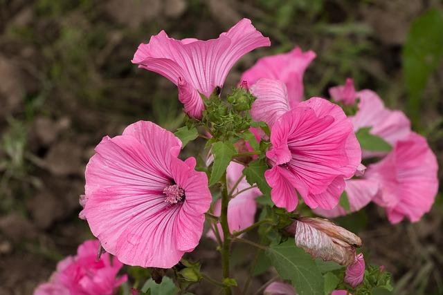 Lavatera, Flower, Pink, Gentle, Krupnyj Plan, Dacha