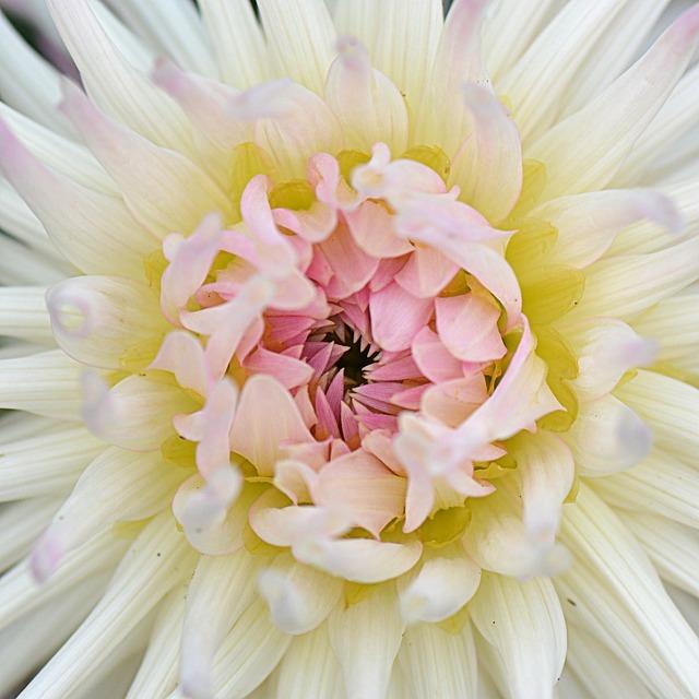 Flower, Nature, Dahlia