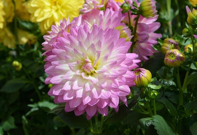 Flower, Dahlia, Flower Dahlia, Pink Flower