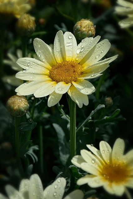 Beauty, Flower, Garden, Daisy, Letnička, Nature, Dew