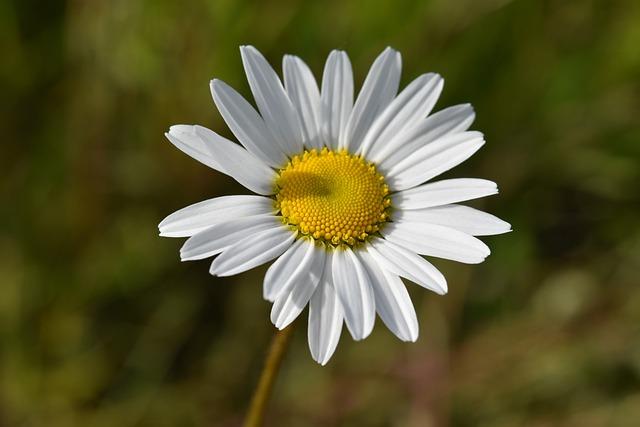 Flower, Daisy Flower, Flower Petals White, Marguerite