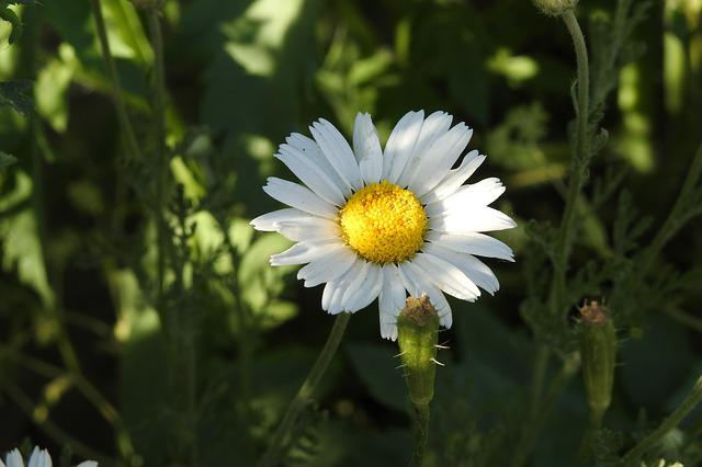 Daisy, Flower, Nature, Daisies, Blooms, Plant, Meadow