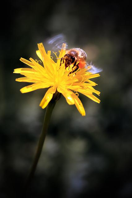 Dandelion, Bee, Yellow, Flower, Animal, Insect