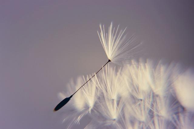 Dandelion, Wishes, Birthday, Blow, Flower, Desire, Luck