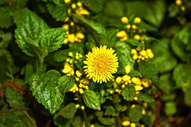 Dandelion, Flower, Plant, Edible, Medicinal, Taraxacum