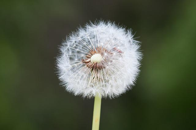 Dandelion, Faded, Seeds, Pointed Flower, Flower, Close