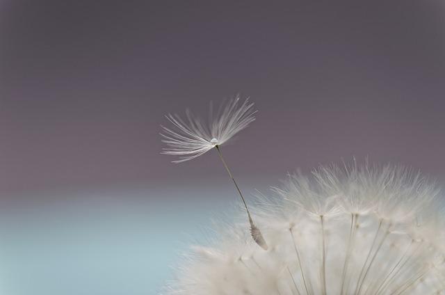 Dandelion, Flower, Flying Seed, Seeds, Seed Head