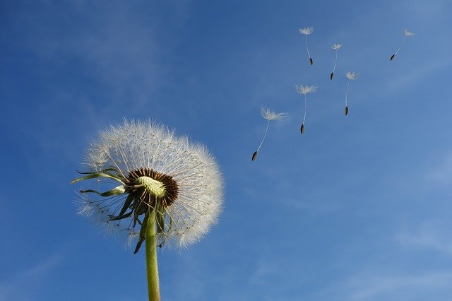 Dandelion, Sky, Flower, Nature, Seeds, Plant, Spring