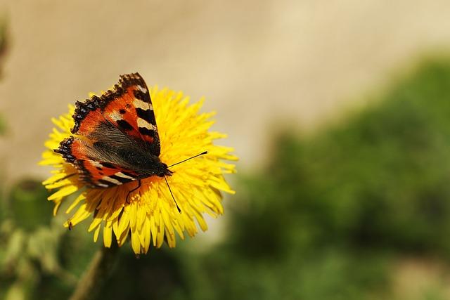 Butterfly, Dandelion, Nature, Flower, Spring