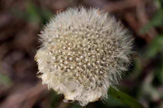Dandelion, Down, White, Plant, Flower