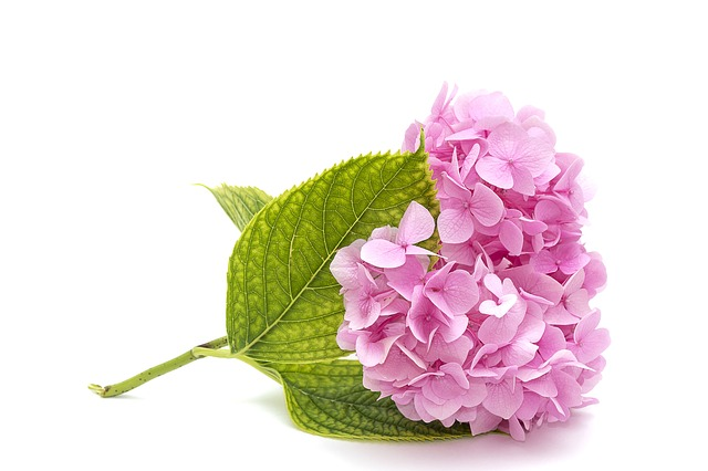 Pink Hydrangea, Leaf, Desktop, Nature, Flower, Closeup