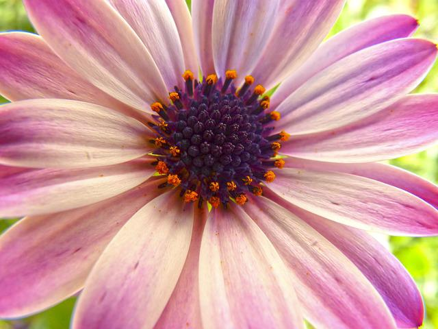 Flower, Petals, Chalice, Detail, Daisy