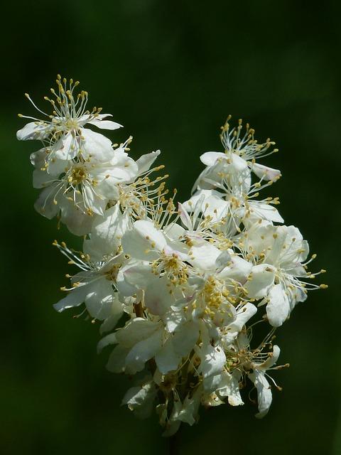 Inflorescence, Dropwort, Flower, Plant, Blossom, Bloom
