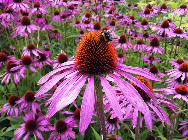 Echinacea, Flower, Coneflower, Nature, Herbal