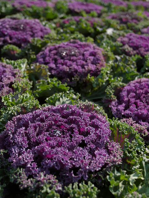 Purple Cauliflower, Vegetables, Flower Expo