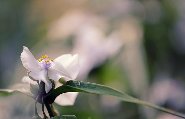 Three Master Flower, Eyes Of God, Flower, Plant