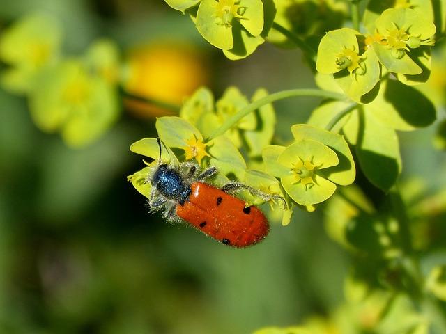 Beetle Meloideo, False Ladybird, Detail, Orange, Flower