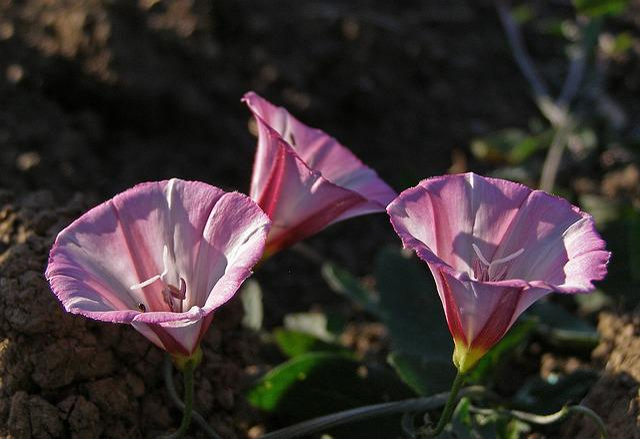Flower, Pink, Field Bindweed, Convolvulus Arvensis