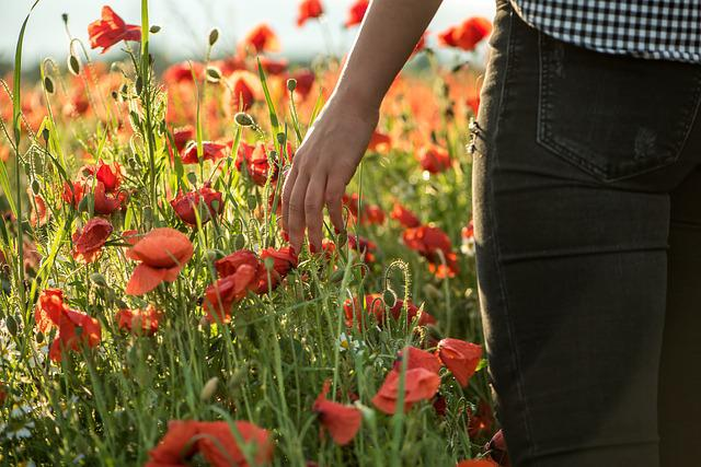 Poppy, Poppy Field, Flower, Red Poppy, Field, Plant