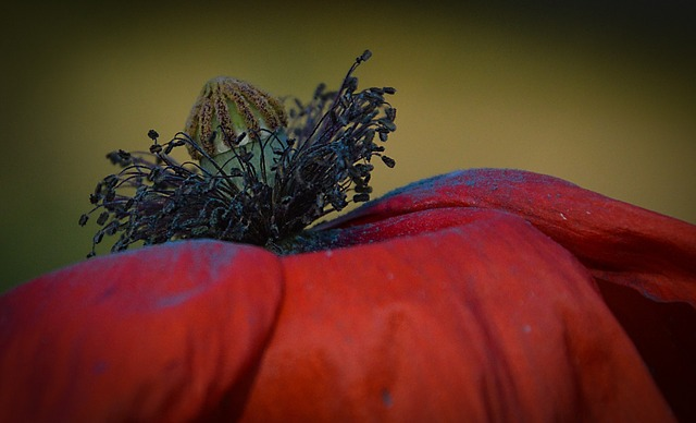 Poppy, Flower, Plant, Nature, Red, Meadow, Fields