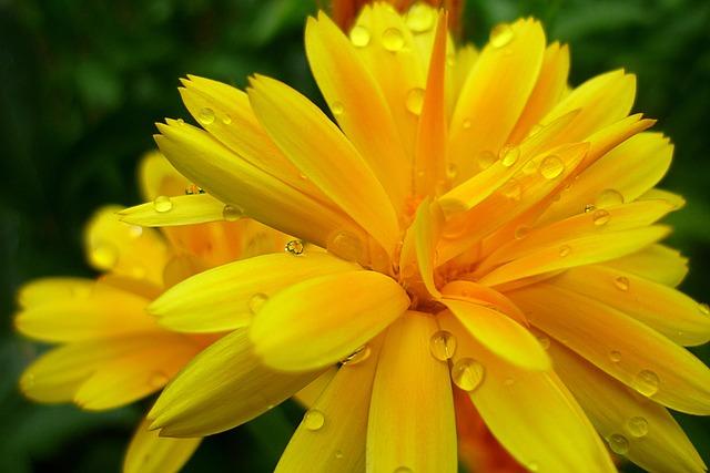 Nature, Flower, Flora, Summer, Dew, Dewdrops, Garden