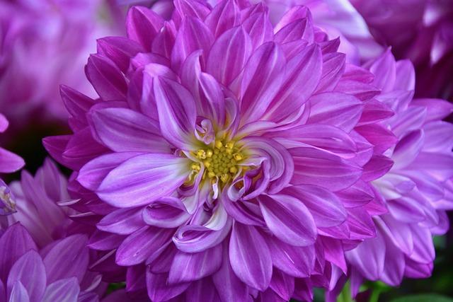 Flower, Flower Of Dahlia, Flora, Garden