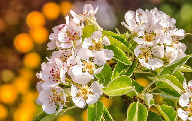 Flower, Plant, Nature, Leaf, Floral, Pear, Blossom