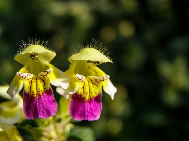 Galeopsis Speciosa, Flower, Wild, Flower Field, Macro