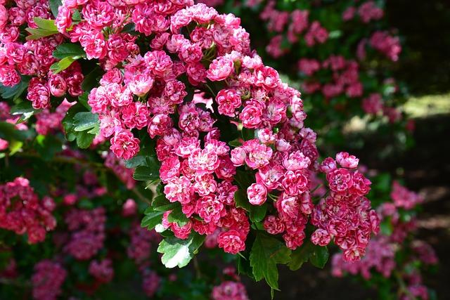 Cherry Blossom, Cherry Tree, Blossom, Flower, Flowering