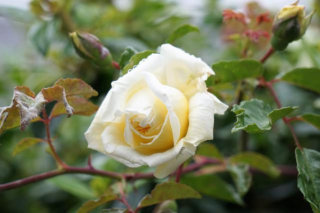 Flower, Pink, Garden, Nature, Flowering, White Rose