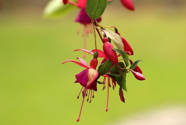 Fuchsia, Flowerpots, Houseplant, Flower, Flourishing