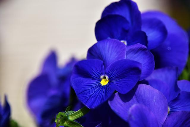 Flowers And Plants, Flower, Plant, Spring, Pansy, Blue