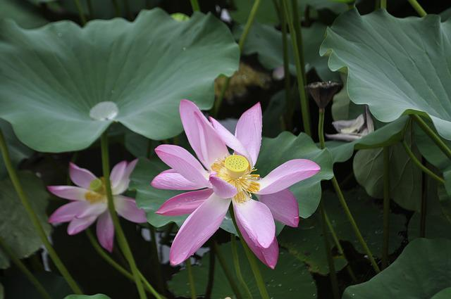 Plant, Nature, Flower, Leaf, Flowers, Water Lily, Pond