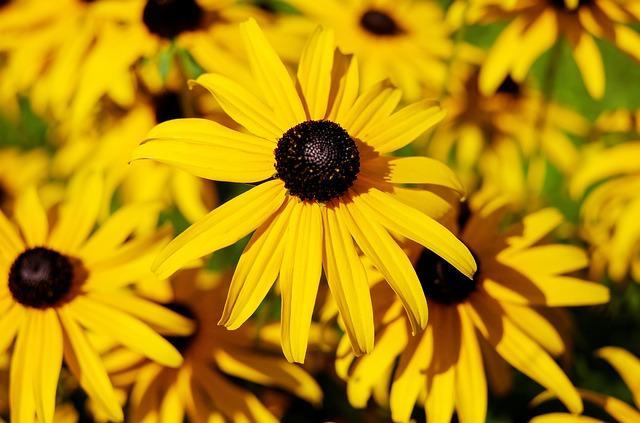 Flower, Sun Hat, Ordinary Sonnenhut, Flowers, Yellow