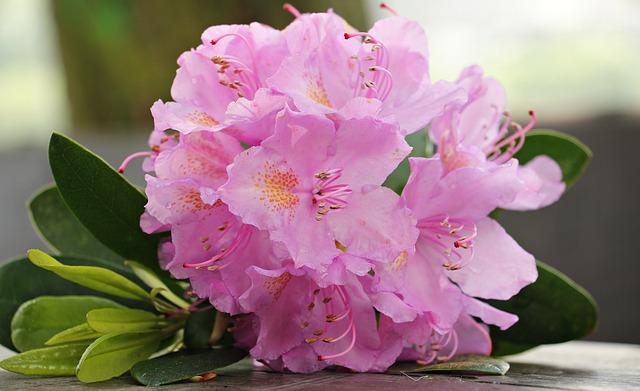 Azalea, Flower, Flowers, Plant, Bright, Rhododendron
