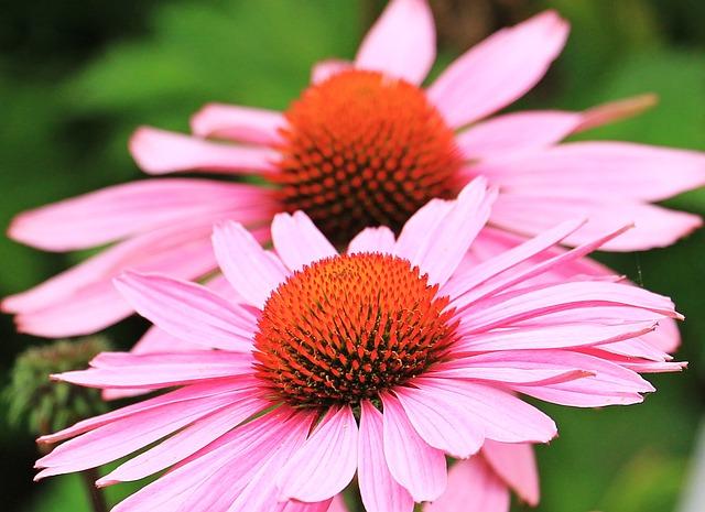 Sun Hats, Hedgehog Heads, Echinacea, Flower, Flowers