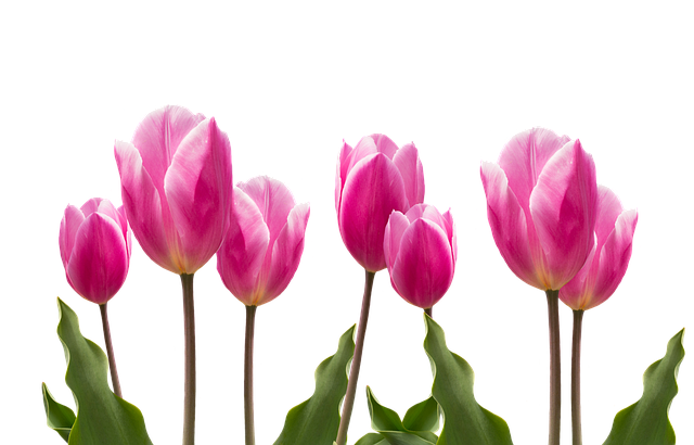 Spring, Tulips, Pink, Nature, Flower, Flowers, Plant